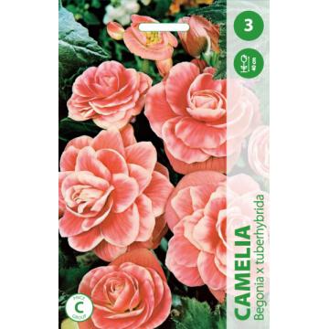 Begonia Camelia