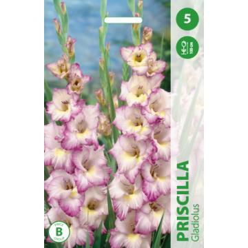 Gladiolus Priscilla