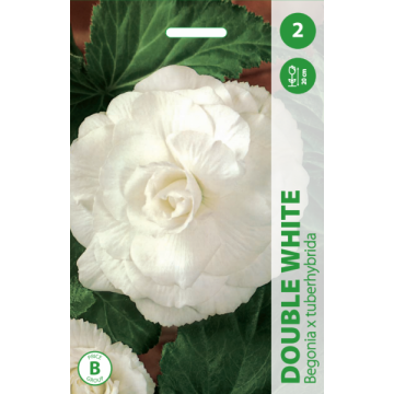 Begonia DOUBLE WHITE