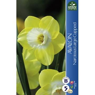 Narcissus AVALON