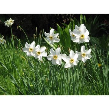 Narcissus POETICUS RECURVUS
