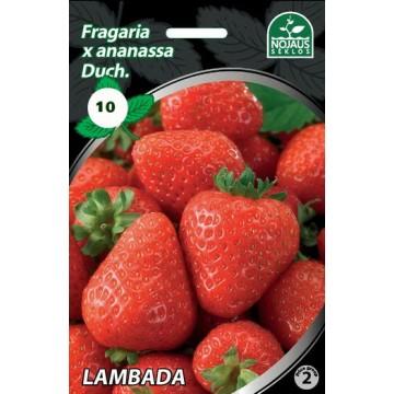 Frigo maasikataimed LAMBADA...